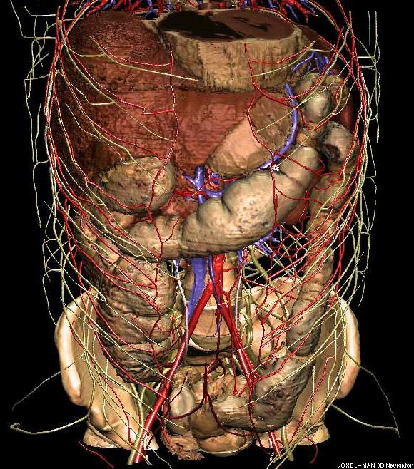 3D abdomen anatomy