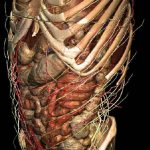 3D atlas of the inner organs