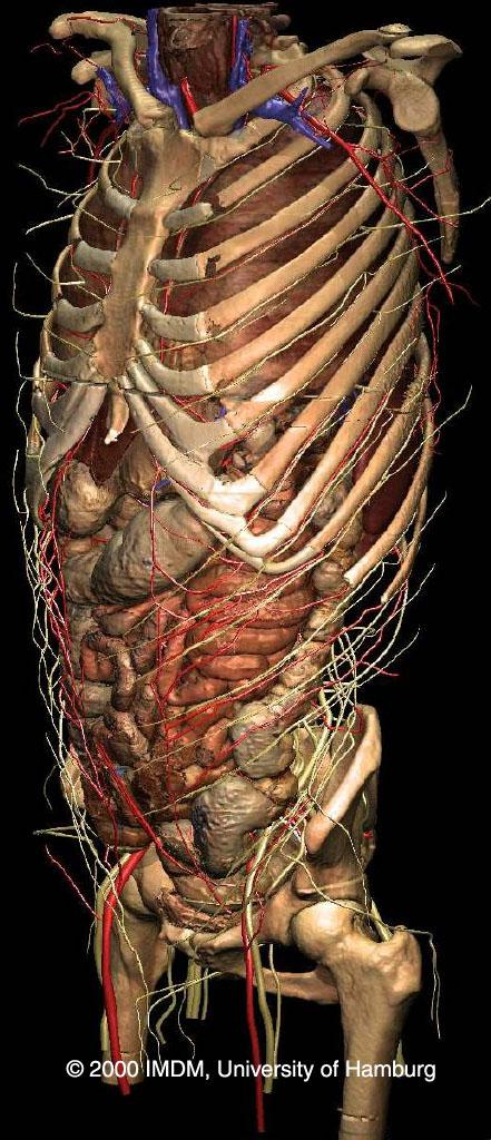 Voxel Man 3d Navigator Inner Organs