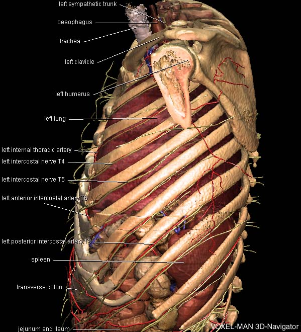 3D thorax anatomy
