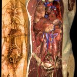 Cardiovascular system of the Visible Human according to Leonardo da Vinci