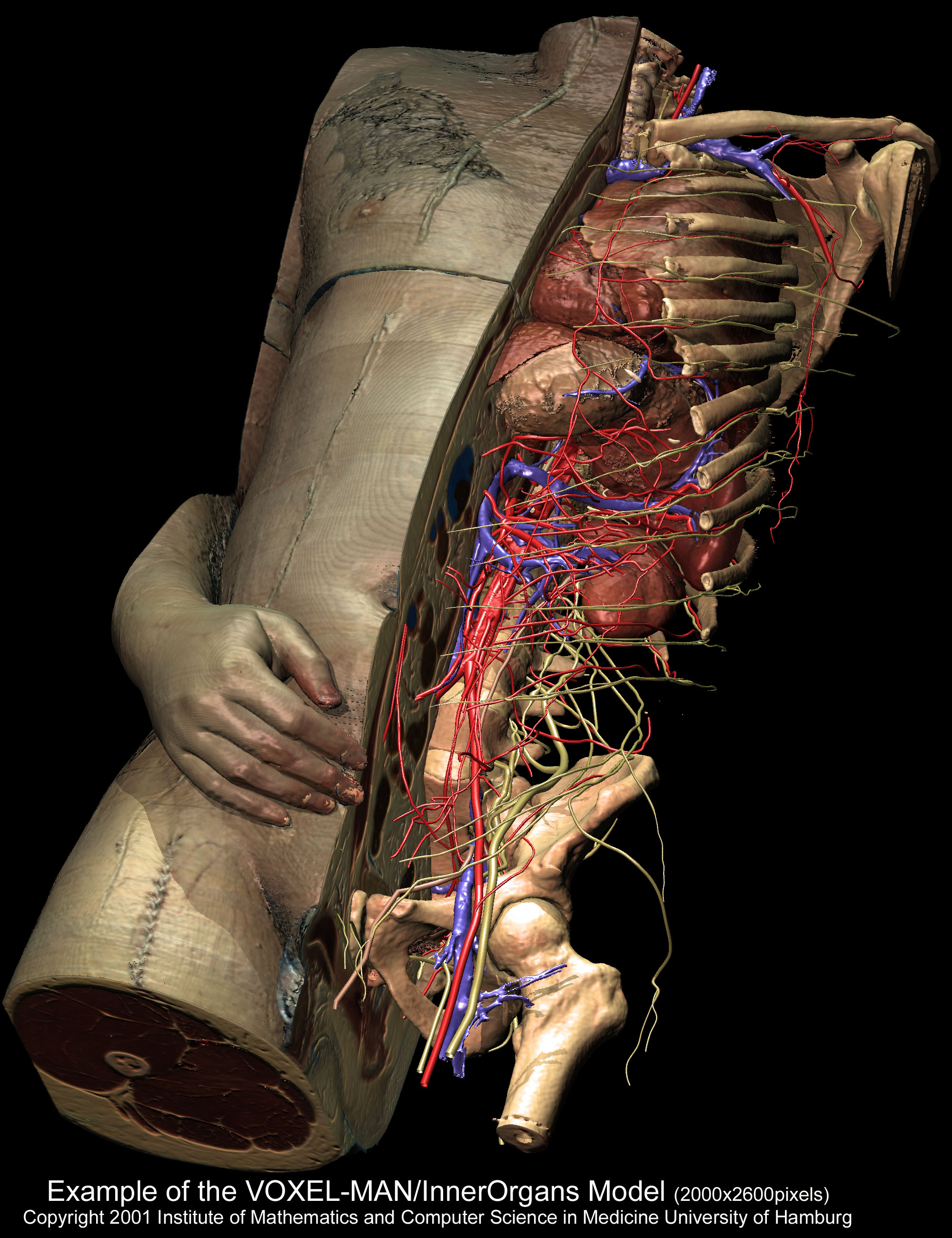 Torso And Inner Organs Of The Visible Human Anatomy Diagram With A Median Cut Unveiliing Some 650 Anatomical Structures