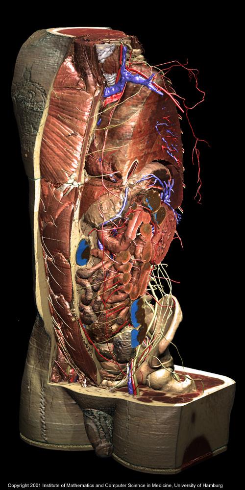 Torso And Inner Organs Of The Visible Human